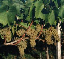 Chardonnay - vinska sorta