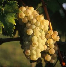 Laški rizling - vinska sorta