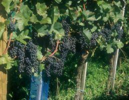 Modri pinot - vinska sorta