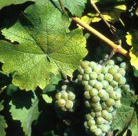 Renski rizling - vinska sorta
