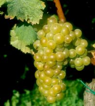 Rumeni muškat - vinska sorta